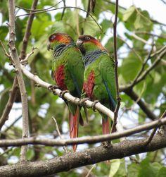 Ochre-Marked Parakeets or Conures (Prryhura cruentata) in Brazil by Mansueto Souza (https://www.facebook.com/mansueto.souza)
