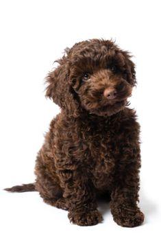Brown Labradoodle, Teddy Bear, Dogs, Cute, Animals, Animales, Animaux, Kawaii, Teddy Bears