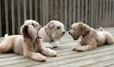 multiple wheatens on my deck? YES please! happiness exploding.