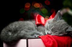 Christmas Kitten Surprise Compilation - Life With Cats Kitten Wallpaper, Tier Wallpaper, Wallpaper Free, Animal Wallpaper, Iphone Wallpaper, Christmas Kitten, Christmas Animals, Merry Christmas, Christmas Ribbon