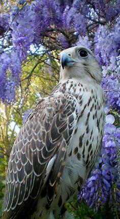 Majestic Falcon