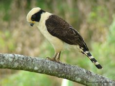 Laughing Falcon | Laughing Falcon (Herpetotheres cachinnans) A bird perched on a ...
