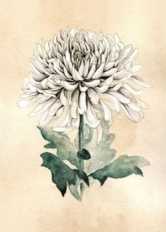 Flower Drawing Image of White chrysanthemum More - Giclee print of the watercolor botanical illustration. Printing on hight quality Art paper. Chrysanthemum Drawing, White Chrysanthemum, Flower Drawing Images, Flower Sketches, Drawing Flowers, Flower Drawings, Art Floral, Crysanthemum Tattoo, Tattoo Son
