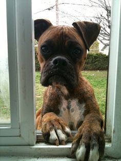Cutest brindle boxer