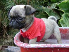 Iowa Pug Breeders   Pugs For Sale in Iowa - Pug Breeder
