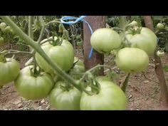 Crestem rosii sau frunze ? - YouTube Solar, Make It Yourself, Youtube, Gardening, Plant, Lawn And Garden, Youtubers, Youtube Movies, Horticulture