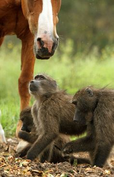 Over the Jump Day: Goat Minions - Bah! Baboon Minions Even Better! Animal Rights Movement, Baboon, African Animals, Brown Bear, Minions, Goats, Monkey, Friendship, Wildlife