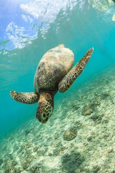 Water Animals, Animals And Pets, Beautiful Creatures, Animals Beautiful, Baby Turtles, Sea Turtles, Sky Sunset, Dive Resort, Tortoise Turtle