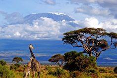 Жирафы на фоне горы Килиманджаро. Фото