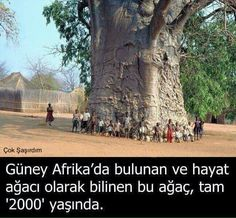 2000 Year Old Tree in South Africa. Locals named it, Tree of Life. Tree type, what else at 2000 yrs of age but a Baobab!