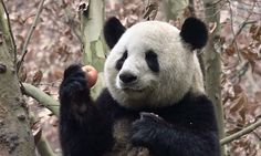 @mrpenta1 Panda's Dream, Giant Pandas, Panda Bear, Pet Birds, Cute Animals, Kitty, Horses, Pretty Animals, Little Kitty