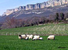 Ovejas pastando bajo la Sierra de Loquiz.
