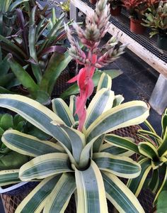 Aechmea 'Harvey's Pride'