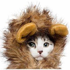Lion Mane Costume for Cats   Posh Puppy Boutique Lion Mane For Cat, Pet Lion, Lion Cub, Small Dog Costumes, Pet Costumes, Kitten Costumes, Halloween Costumes, Puppy Costume, Designer Dog Clothes