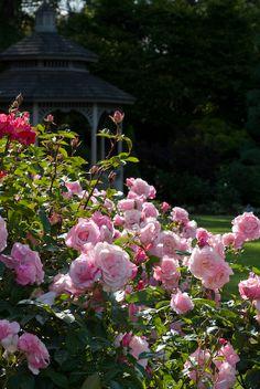 I love rose gardens.