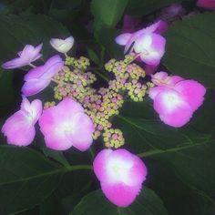 #pink #lacetop #hydrangea fro my #RoyalOak #garden - @maximusimpact