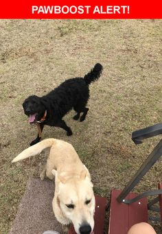 Is this your lost pet? Found in Lubbock, TX 79423. Please spread the word so we can find the owner!  Yellow dog with orange collar. Black dog with curly fur and orange collar  Near Woodrow Rd & Co Rd 2260