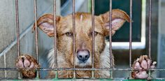 """Peru Throws the Book at Animal Cruelty (via PanAm Post) (24 November 2015) Peru's Congress has passed a new """"Animal Protection and Welfare Law."""" The law classifies animals as """"sensitive beings"""" and seeks to prevent unnecessary deaths and animal abuse in Peru."""