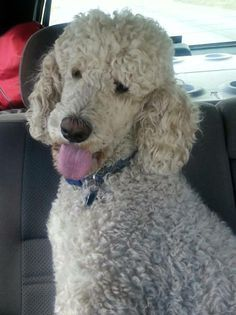 Poodle The Adorable Dog - The Pooch Online Poodle Haircut, Poodle Hairstyles, French Poodles, Standard Poodles, Poodle Cuts, Puppy Cut, Poodle Grooming, Beautiful Dogs, Pet Dogs