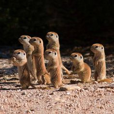 Baby prairie dogs on (tiny) watch. follow @GalaxyCase to see more cutest animals…