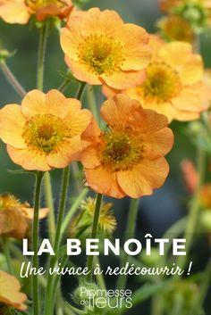 La Benoîte ou Geum : une charmante vivace à redécouvrir ! Herb Garden, Lawn And Garden, Garden Beds, Garden Plants, Hd Flowers, Unusual Flowers, Beautiful Flowers, Flower Delivery Uk, Garden Care