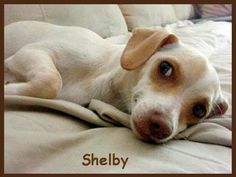 """ADOPT ME!!!! My name is """"SHELBY"""", a tiny 5 mo. old female Dachs/ Chihuahua mix. My name means """"sheltered place where willows grow"""" & really is appropriate cuz I like a sheltered environment w/ a gentle sway & flow to things, & a mandatory fenced yard so I am secure & safe. Foster Mom says I'm her gorgeous lil girl w/ the beautiful blond/white silky fur & smoky whiskey-colored eyes. She wants the world to welcome me for the lovely lady I can become.  - photo via Furever Dachshund Rescue fb…"""