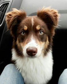 Dog Breeds Little .Dog Breeds Little Cute Baby Dogs, Cute Little Puppies, Cute Dogs And Puppies, Cute Little Animals, Cute Funny Animals, Doggies, Cute Dogs Breeds, Dog Breeds, Aussie Puppies