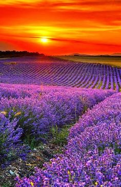 """""""A sunrise or sunset can be ablaze with brilliance and arouse all the passion, all the yearning, in the soul of the beholder."""" ― Mary Balogh, Beautiful sunset over lavender field Beautiful Sunset, Beautiful World, Beautiful Flowers, Beautiful Places, Beautiful Pictures, All Nature, Amazing Nature, Lavender Fields, Lavander"""