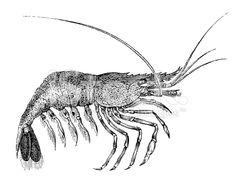 illustration shrimp - Google Search
