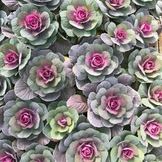 Cabbage, Succulents, Vegetables, Plants, Cabbages, Succulent Plants, Vegetable Recipes, Plant, Brussels Sprouts