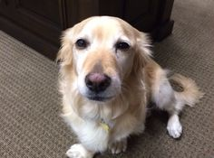 This is Tully a 6 yr old Golden/Corgi mix. He is neutered, current on vaccinations, potty trained, has good house manners, walks ell on leash, rides well in a car & knows basic commands. Would prefer to be the only dog. no cats & older kids only. Needs a secure physical fence. Southern California Golden Retriever Rescue. http://scgrrescue.org/dogs/meet-tully/#sthash.0aSeLCKC.dpbs