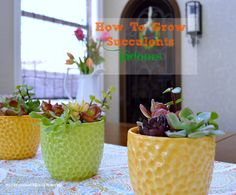 How to grow succulents indoors, great ideas!