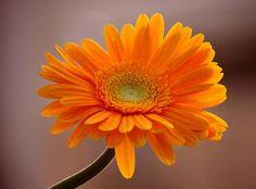 Gerbera yellow: