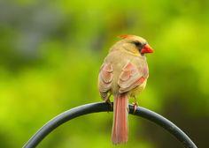 Female Cardinal on Pole - Copyright Bill Tiepelman