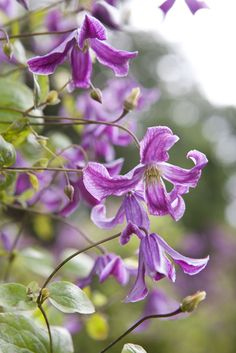 Clematis viticella 'John Treasure' is tough and fast-growing, with red-purple flowers in the summer from July to September. Perfect for growing up a pergola or obelisk, or allow to climb through trees or large shrubs.