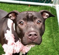 PRINCESS - A1112978 - - Manhattan  TO BE DESTROYED 06/06/17 **ON PUBLIC LIST** A volunteer writes: Princess has made a big turn around. Although I am still to see a smile on her face (she is very austere looking), she has loosened up a lot and really enjoys the company of her caretakers. She is quite obedient, sits at once on command, hops on the bench upon request and even gives paw without being pushed….She now takes our treats and begs for attention when we are&#82