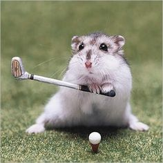 Hamster playing Golf Look Out Tiger !