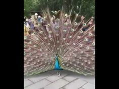 Who can say they've seen this in real life? Peacock, Real Life, Dance, Make It Yourself, Youtube, Carving, Videos, Amazing, Places