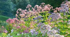 Eupatorium purpureum, a native plant, in late summer bloom at Innisfree Garden, Millbrook, NY.