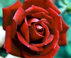 Rose by Greg Thiemeyer