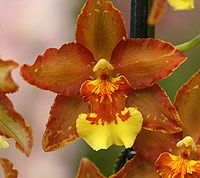 Oncidium Orchid   'Wills Hilda Purple Wings'.  Oncidium Orchid Oncidium Orchids have long lasting flowers and are a large group of orchids. Origanally from Central America through to Brazil and Venuzuela.