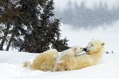 PIC FROM THOMAS KOKTA / CATERS NEWS (Pictured: POLAR BEAR WITH CUB) - A lucky photographer has managed to photograph these adorable images t...