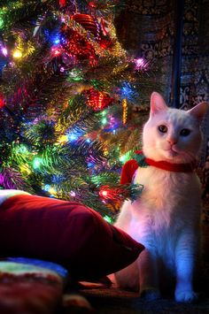 Christmas Cat is taking a break from chewing on the tree!