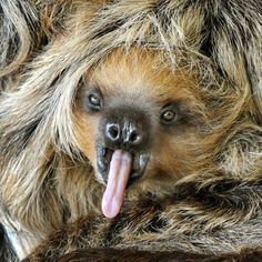 Baby sloth, eight months old.