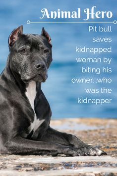 Hero Pit Bull Saves Kidnapped Woman By Biting His Owner -- The Kidnapper. See how this story ends at the link.