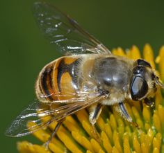 drone fly - Eristalis tenax - female family syrphidae (hover flies)