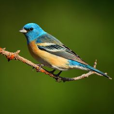 Lazuli bunting The Effective Pictures We Offer You About Bird Watching party A quality picture can t Small Birds, Colorful Birds, Pretty Birds, Beautiful Birds, Bunting Bird, Buntings, Conservation, Best B, Backyard Birds