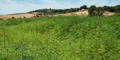 California Legalizes Industrial Hemp.