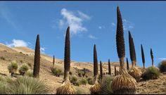 Titancayoc, bosque de puyas de Raimondi