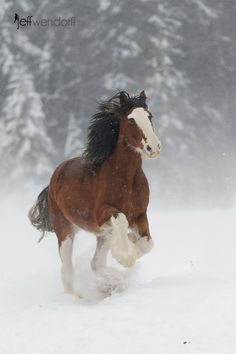 A Clydesdale running in some powdery snow. A great day photographing horses in the mountains of Montana. I imagine that he's on a Budweiser run! :-)
